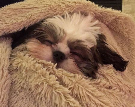 facts  shih tzu puppies dog care daily puppy