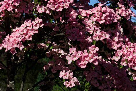 Flowering Dogwood Tree Varieties Hgtv