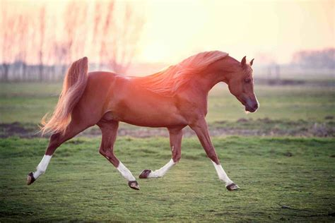arabian horse horses expensive most breeds cost running types field much breed does stallion chart anatomy popular