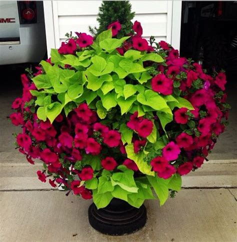 wave petunias in pots sweet potato vine with wave petunias and a dwarf alberta spruce on my driveway last summer