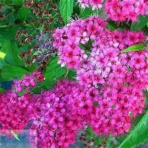 Japanischer Spinat Pflanze : japanischer spierstrauch spiraea japonica dart 39 s red 39 pflanzen enzyklop die ~ Frokenaadalensverden.com Haus und Dekorationen