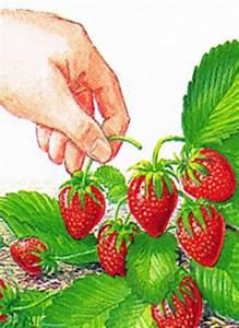 Erdbeeren Ableger Entfernen : gartenschlumpf erdbeeren k stliche und gesunde fr chte im garten anbauen ~ Frokenaadalensverden.com Haus und Dekorationen