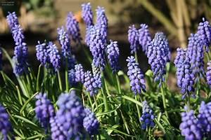 Garten Blumen Bilder : blumen blueten traubenhyazinthen garten fruehling ~ Whattoseeinmadrid.com Haus und Dekorationen