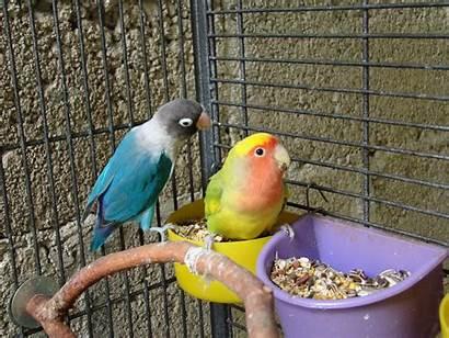 Bird Lovebird Pet Birds Cage Gambar Warni