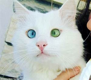 Moggy from Turkey with different coloured eyes has ...