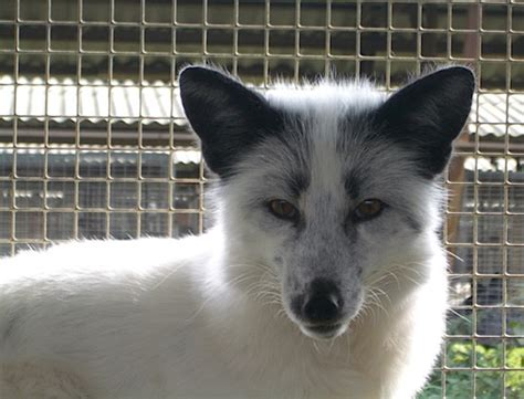 domesticated fox why some wild animals are becoming nicer wired
