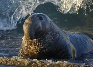 Elephant Seals Are Sneaky and Greedy and We Love Them ...
