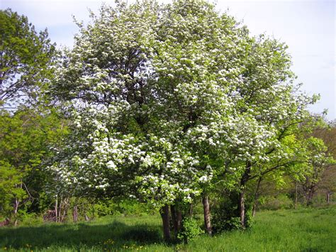 hawthorn tree all hawthorn trees bing images