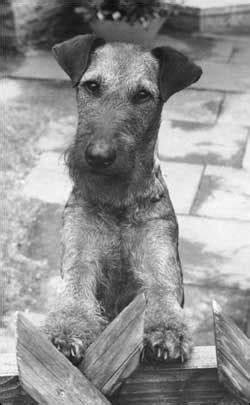 Irish Terrier Für Anfänger