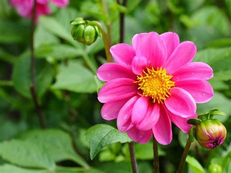 Pink Flowers Dahlia Flower Plants Plantation Outdoor Green
