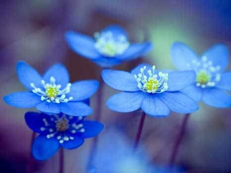 blaue blumen frühling gibt es blaue blumen blau botanik