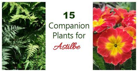 astilbe companion plants   grow  astilbe