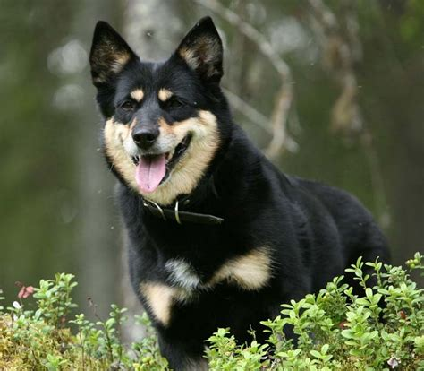 lapponian herder images  pinterest puppies
