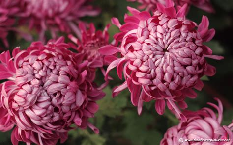 mums flower chrysanthemum pictures chrysanthemum flower pictures