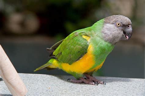 senegal parrot senegal parrot afrique mon afrique pinterest