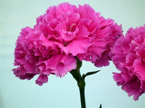 fiori garofano garofano linguaggio dei fiori garofano linguaggio
