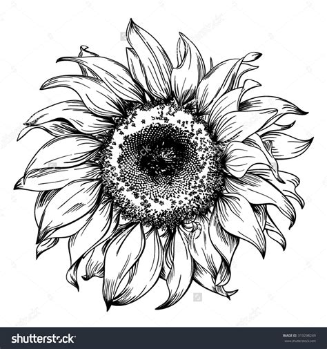 Hand Drawn Realistic Vintage Sunflower Pen And Ink Drawing