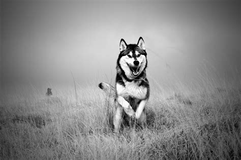 wolf hd wallpapers free download