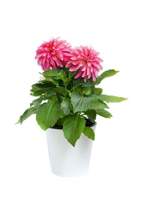 dalia in vaso fiore bianco della dalia su un fondo bianco isolato
