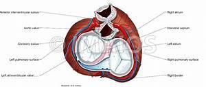 Heart Anatomy In Chest