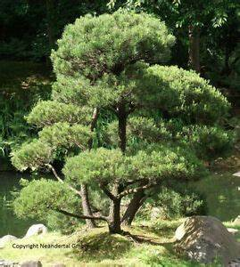 Bäume Für Den Balkon : bonsai kiefer pflanzen duftstr ucher duftstauden f r den topf balkon garten deko ebay ~ Frokenaadalensverden.com Haus und Dekorationen