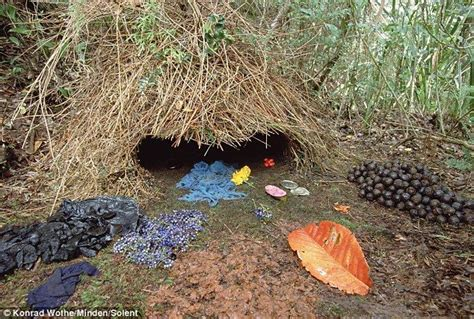 bird decorates nest brown gardener bower bird nest the males build the bower and then place colorful delicacies at