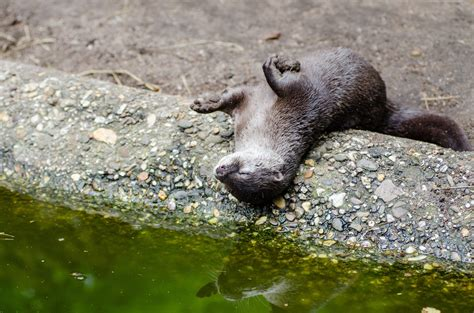 oriental small clawed otter  image peakpx