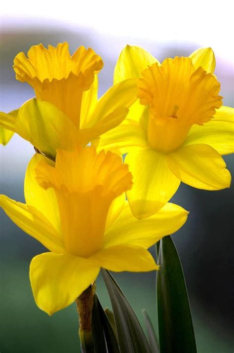 25+ Best Ideas About March Birth Flowers On Pinterest  Birth Flowers, Birth Month Stones And