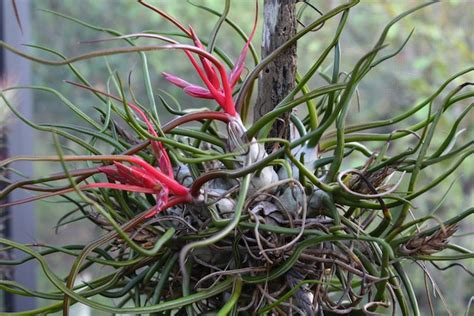 mount  air plant   branch home wizards
