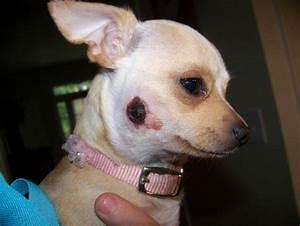 Dog Spider Bite Ear