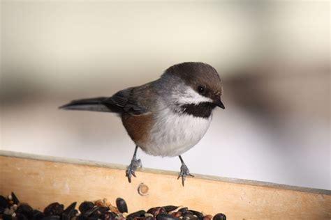 winter birds in alberta archives birds calgary