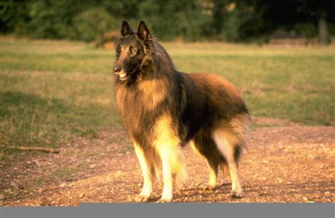 belgian shepherd tervuren breed guide learn