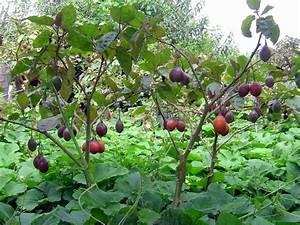 Tamarillo Tomate De Árvore Gigante Sementes Fruta Para ...