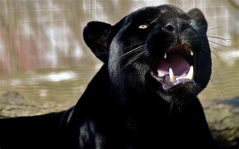 Panther Pics | WallPics