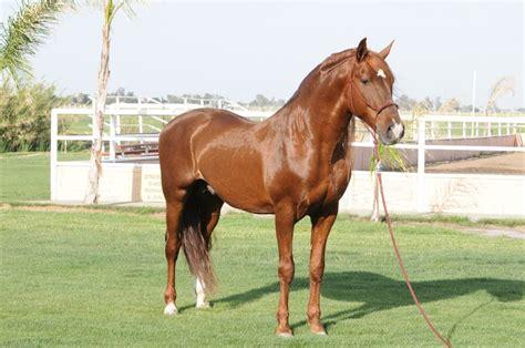 andalusian horses stallion chestnut horse eponaexchange spanish