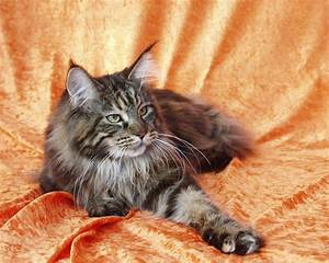 How to Tell if a Cat is a Maine Coon - MaineCoon.org