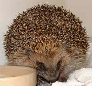 mites on hedgehogs quot hedgehog quot chorioptes mites