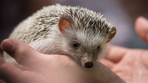 pet hedgehog hedgehogs spike in popularity as pets abc news