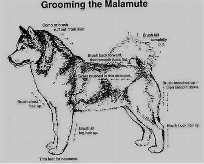 Malamute Hair Grooming Helpful Fbcdn Atl Scontent