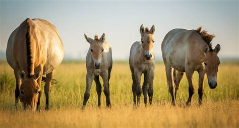 horse herd przewalski foals predators protect members animals newborn aboutanimals przewalskis