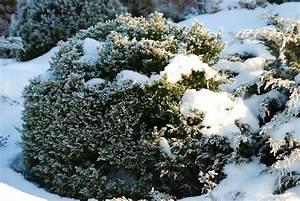 Immergrüne Pflanzen Winterhart : immergr n und winterhart beliebte str ucher geh lze ~ A.2002-acura-tl-radio.info Haus und Dekorationen