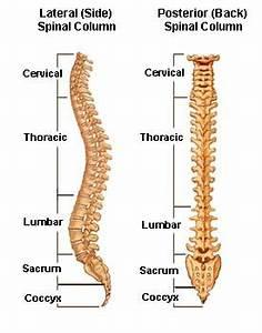 Spinal Anatomy | Vertebral Column