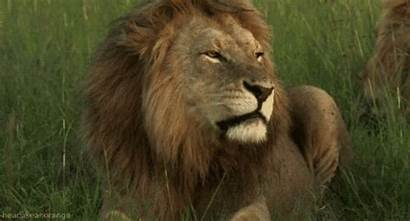 Animals Moving Lion Gifs African Africa Giphy