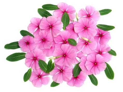 flower information and pictures information on indian flowers hunker