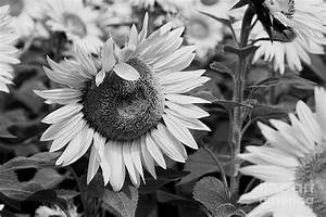 The gallery for --> Sunflowers Cover Photo Black And White