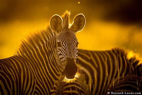 zebra backlit  sunset burrard lucas photography