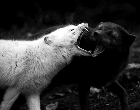 The Battle Of The Black Wolf And The White Wolf