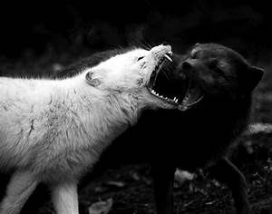 the battle of the black wolf and the white wolf | elephant ...