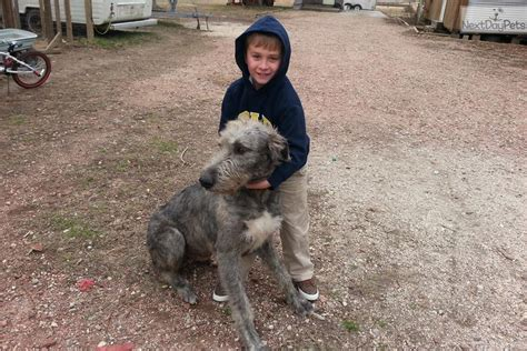 wolfhound non shedding breeds with pictures directory of breed of dogs