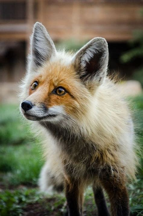 how cute pet foxes steal your heart cutest fox on we it http weheartit entry 65227405 animals
